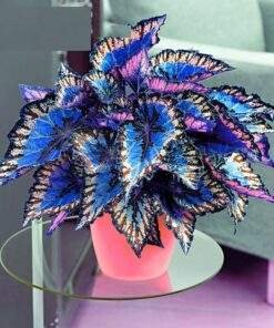 3122 0d48d9 247x296 - 100pcs Janpanse Bonsai Coleus Seeds - Rainbow Dragon plants Seeds - flower-seeds, coleus-seeds -