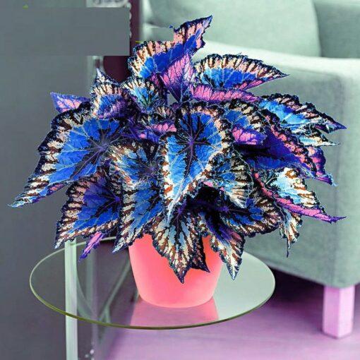 3122 0d48d9 510x510 - 100pcs Janpanse Bonsai Coleus Seeds - Rainbow Dragon plants Seeds - flower-seeds, coleus-seeds -