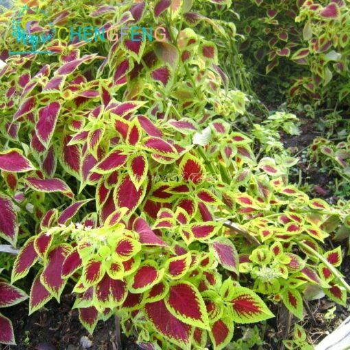 3122 itrlpy 510x510 - 100pcs Janpanse Bonsai Coleus Seeds - Rainbow Dragon plants Seeds - flower-seeds, coleus-seeds -