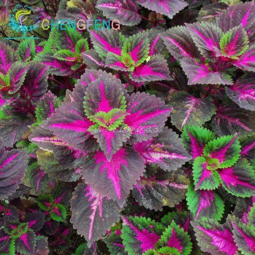 3122 jnrnzz 510x510 - 100pcs Janpanse Bonsai Coleus Seeds - Rainbow Dragon plants Seeds - flower-seeds, coleus-seeds -