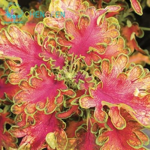 3122 ptyznq - 100pcs Janpanse Bonsai Coleus Seeds - Rainbow Dragon plants Seeds - flower-seeds, coleus-seeds -