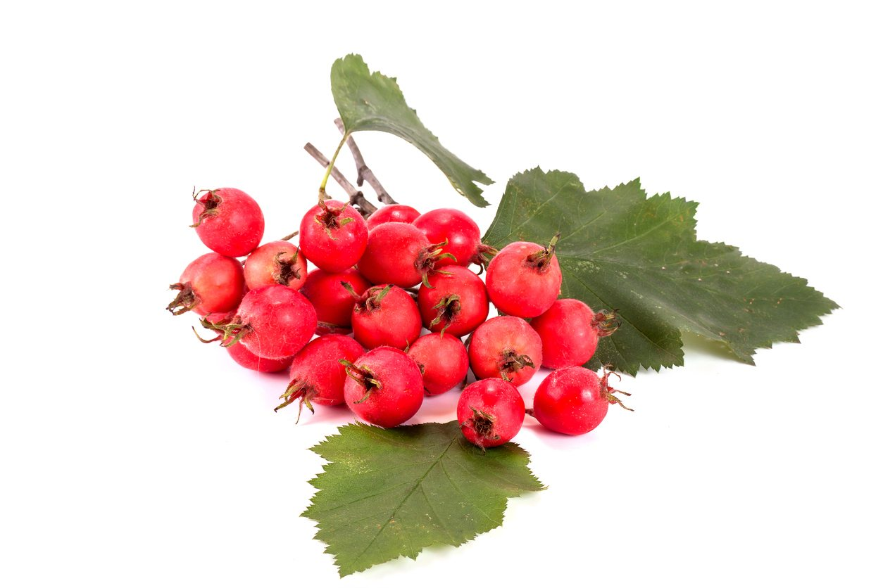 crataegus tree information tips for growing mayhaws in the landscape takeseeds com - Crataegus Tree Information - Tips For Growing Mayhaws In The Landscape