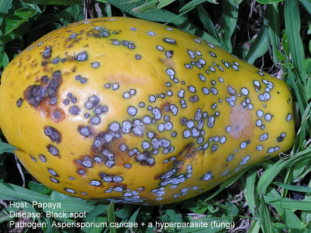 1538432908 what to do with a papaya with black spots treating papaya black spot disease takeseeds com - What To Do With A Papaya With Black Spots – Treating Papaya Black Spot Disease