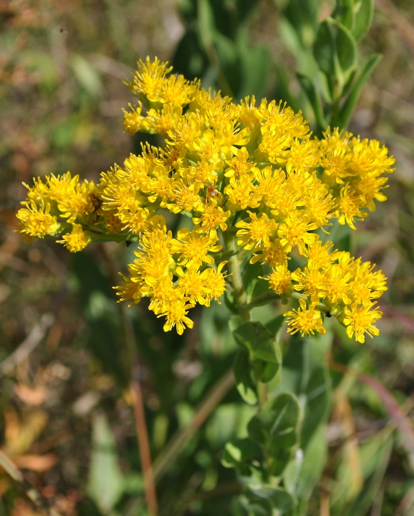 1538692588 growing stiff goldenrod flowers in the garden takeseeds com - Growing Stiff Goldenrod Flowers In The Garden