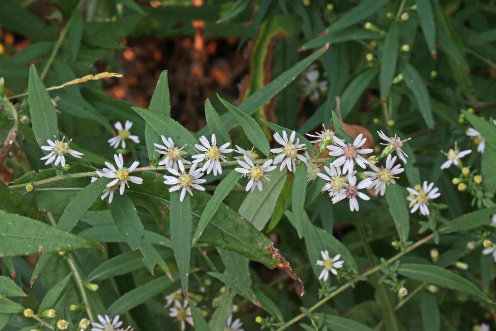 1538822441 learn about growing calico aster flowers takeseeds com - Learn About Growing Calico Aster Flowers