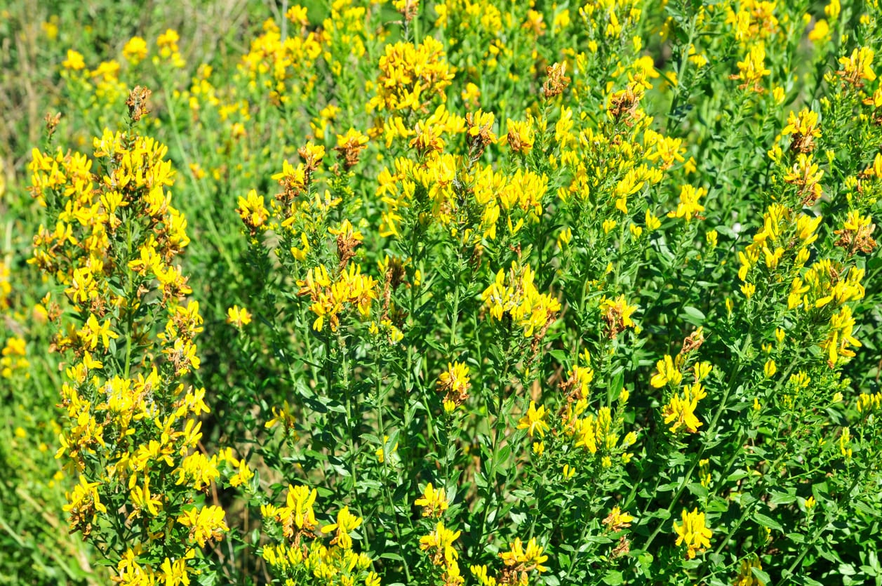 1538865685 learn about getting rid of woad weeds takeseeds com - Learn About Getting Rid Of Woad Weeds