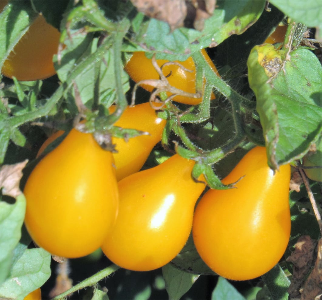 1539861108 learn about growing yellow pear tomato plants takeseeds com - Learn About Growing Yellow Pear Tomato Plants