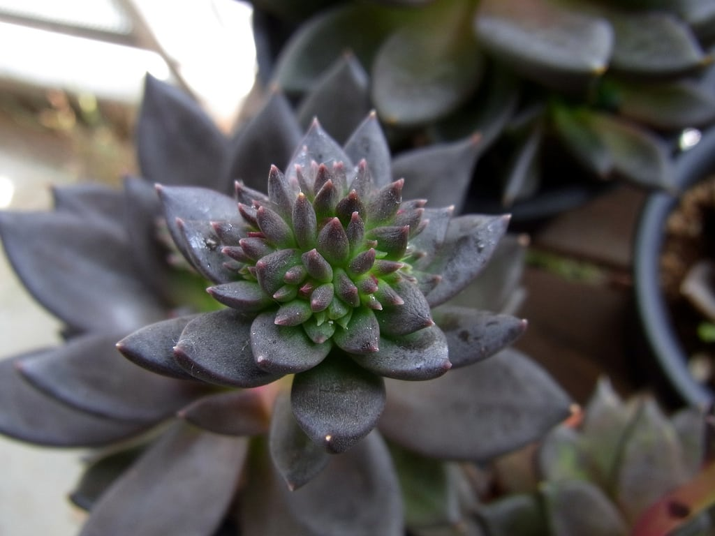 1539990854 learn about black knight echeveria care takeseeds com - Learn About Black Knight Echeveria Care
