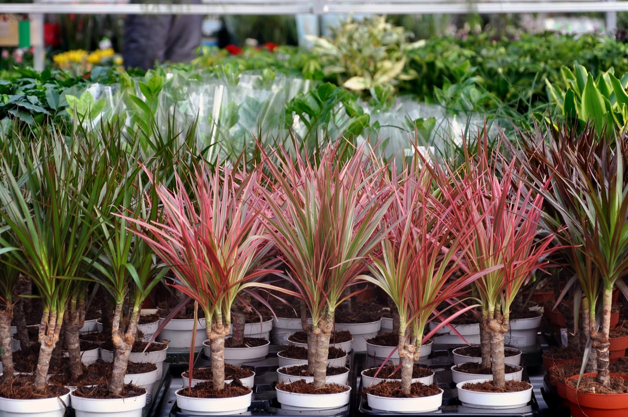 1540207318 learn when to sow dracaena seeds takeseeds com - Learn When To Sow Dracaena Seeds