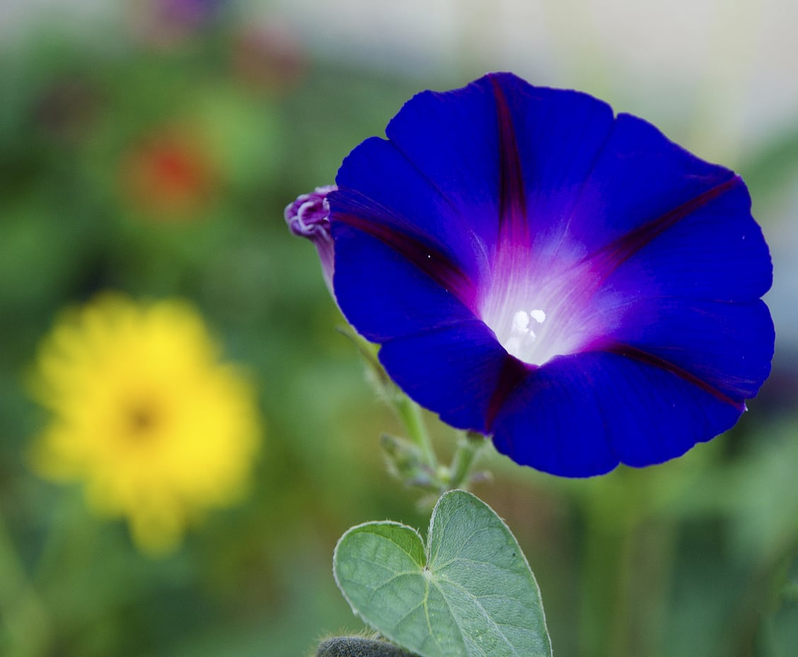 1540466866 common blue petunia varieties choosing blue petunias for the garden takeseeds com - Common Blue Petunia Varieties – Choosing Blue Petunias For The Garden