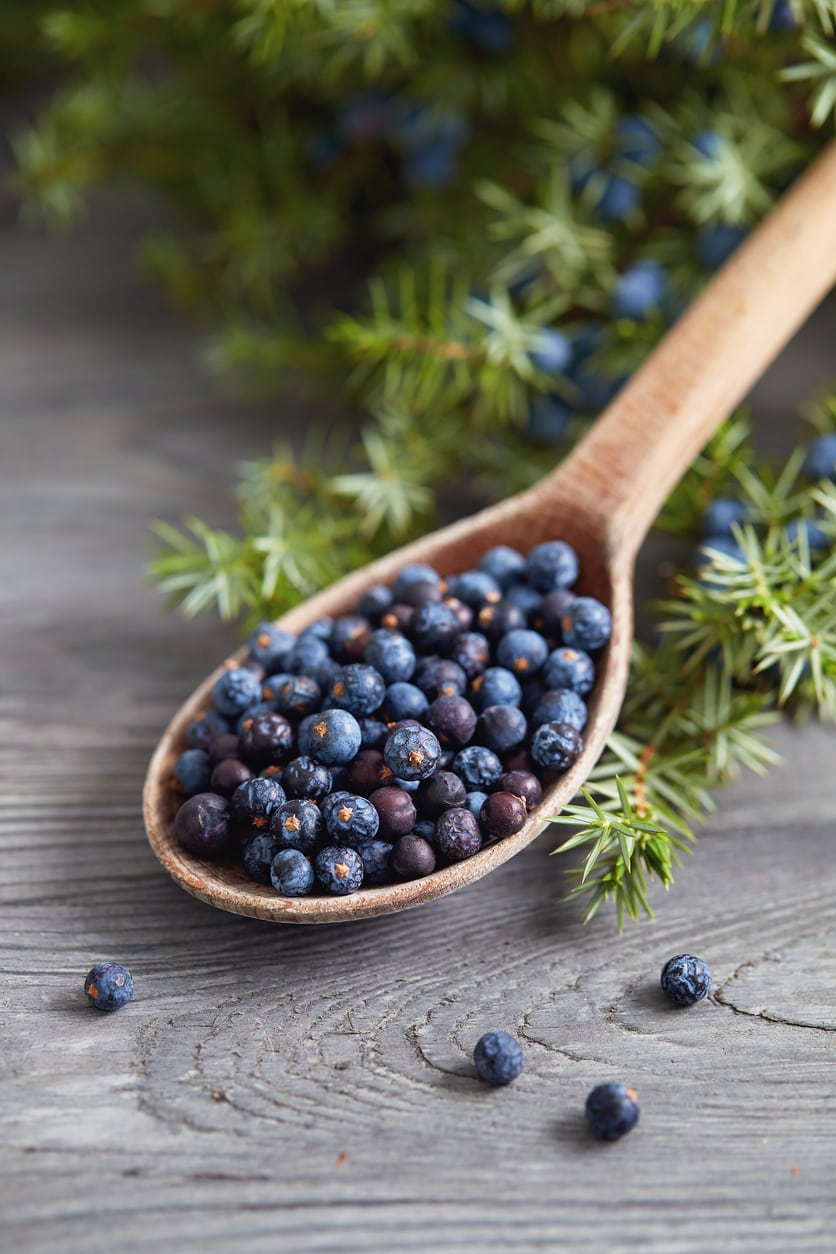 1540596628 is it safe to pick juniper berries learn about harvesting juniper berries takeseeds com - Is It Safe To Pick Juniper Berries – Learn About Harvesting Juniper Berries