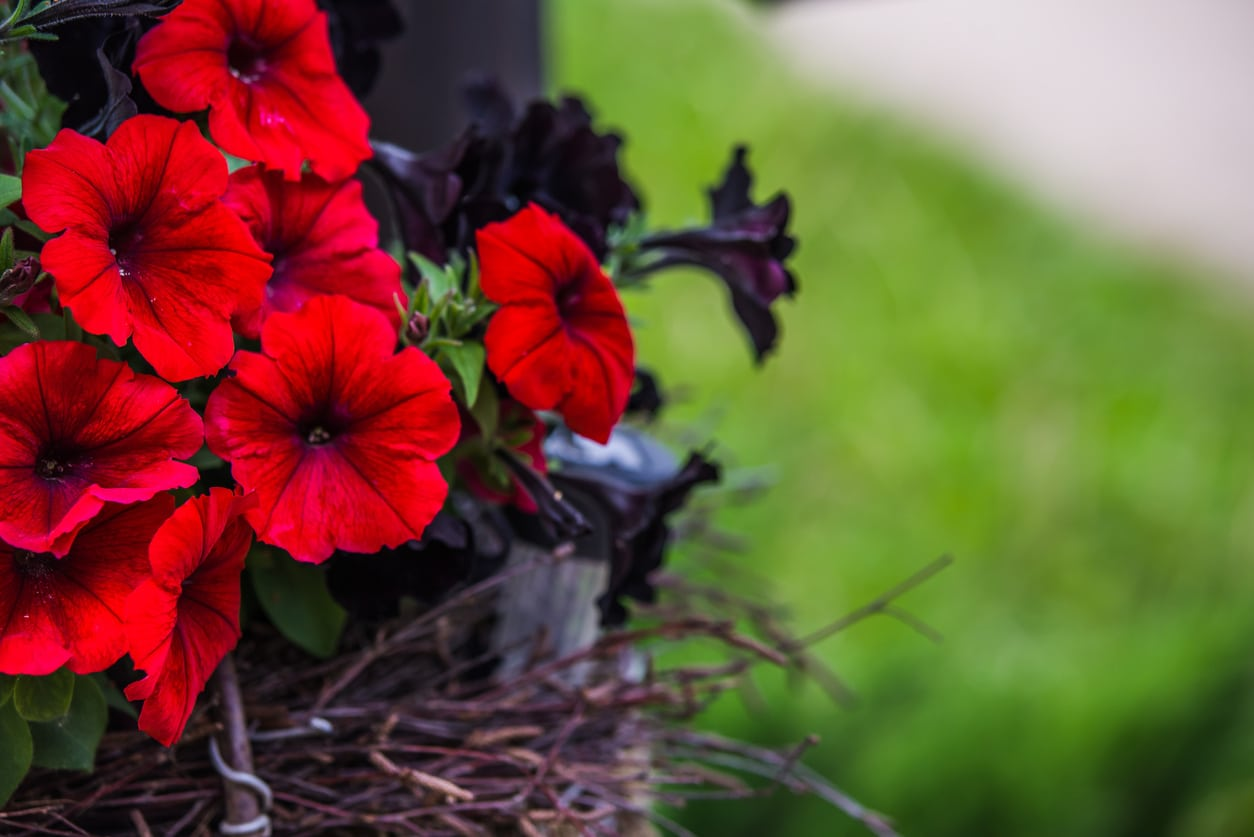 1540985945 planting red petunia flowers selecting and growing petunias that are red takeseeds com - Planting Red Petunia Flowers – Selecting And Growing Petunias That Are Red