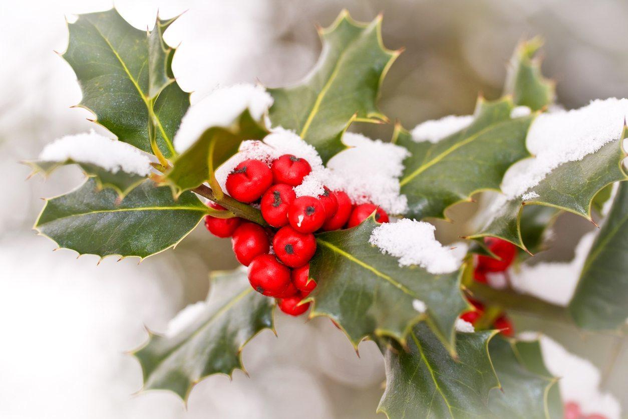 how to winterize a holly bush takeseeds com - How To Winterize A Holly Bush