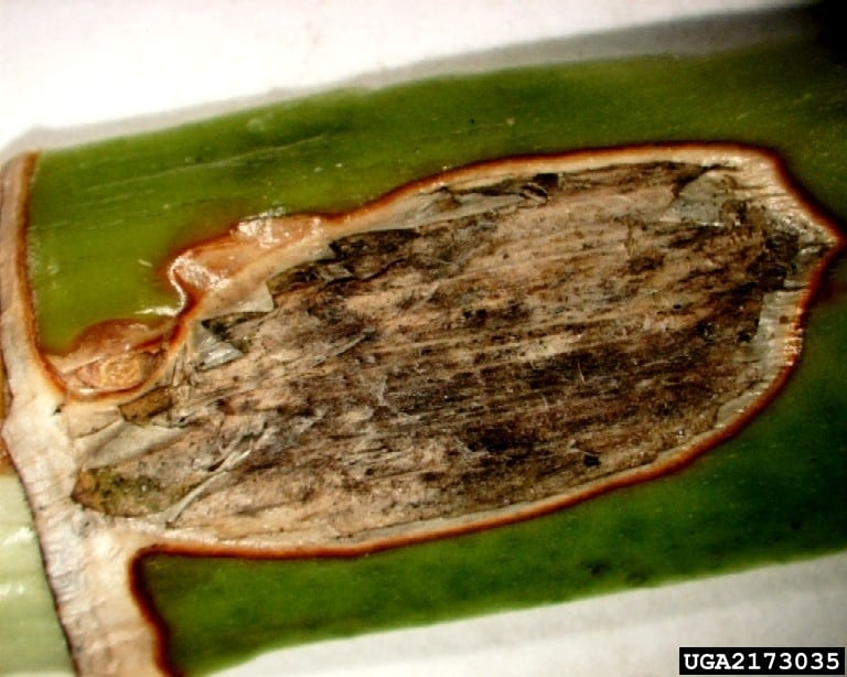 reasons for browning dracaena leaves takeseeds com - Reasons For Browning Dracaena Leaves