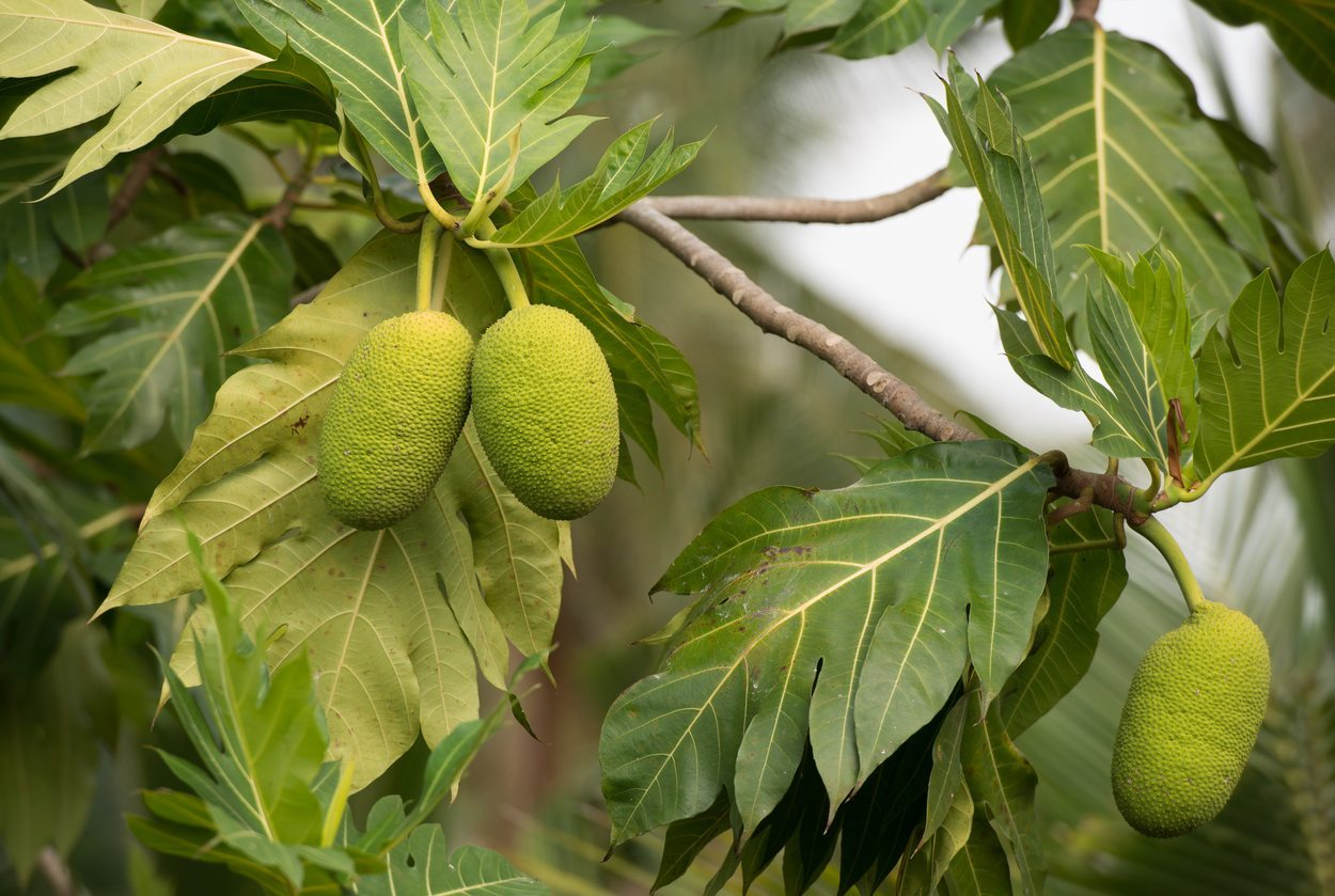 1541072510 breadfruit cold tolerance learn about the care of breadfruit in winter takeseeds com - Breadfruit Cold Tolerance - Learn About The Care Of Breadfruit In Winter