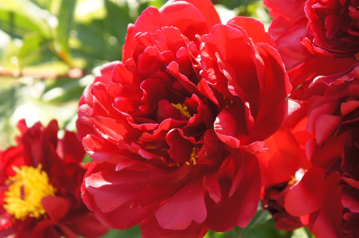 1541245682 planting red peonies learn about growing red peony flowers takeseeds com - Planting Red Peonies – Learn About Growing Red Peony Flowers