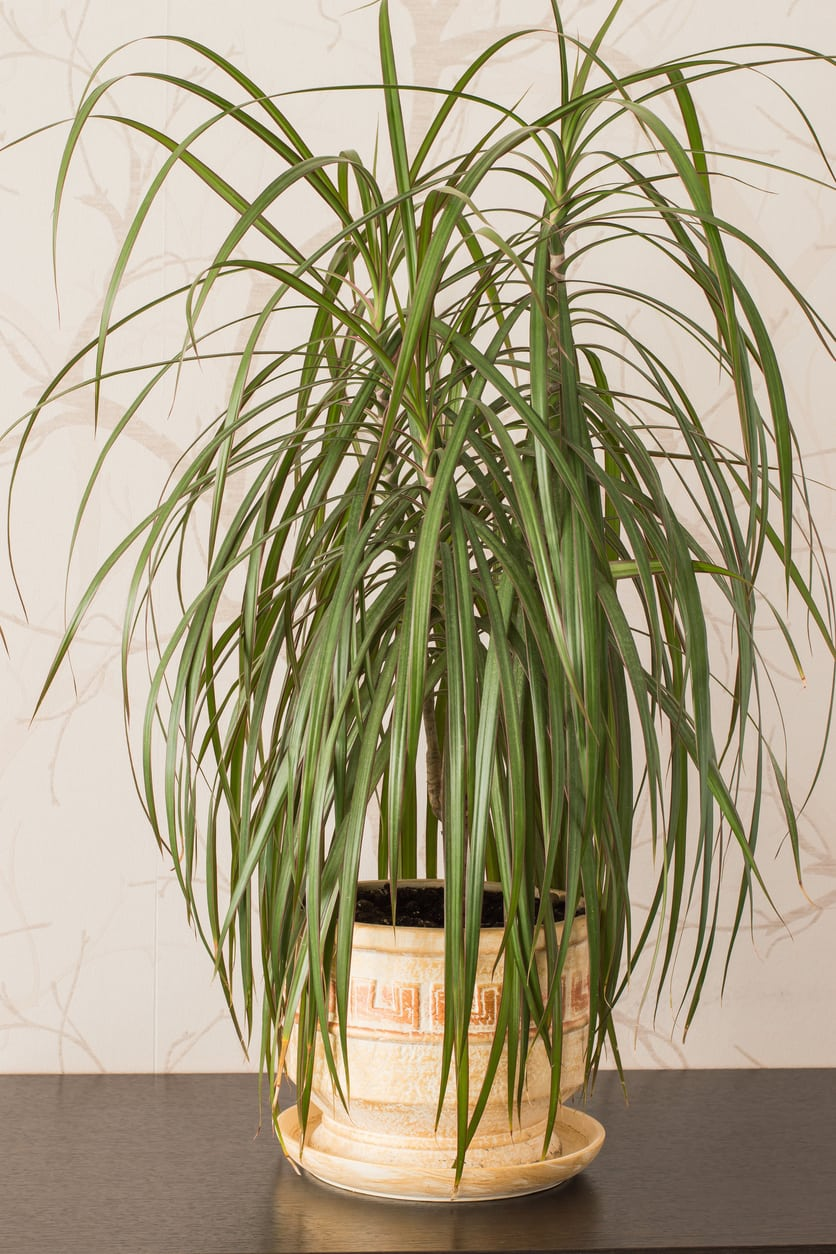 1541332234 whats the difference between yucca and dracaena takeseeds com - What's The Difference Between Yucca And Dracaena