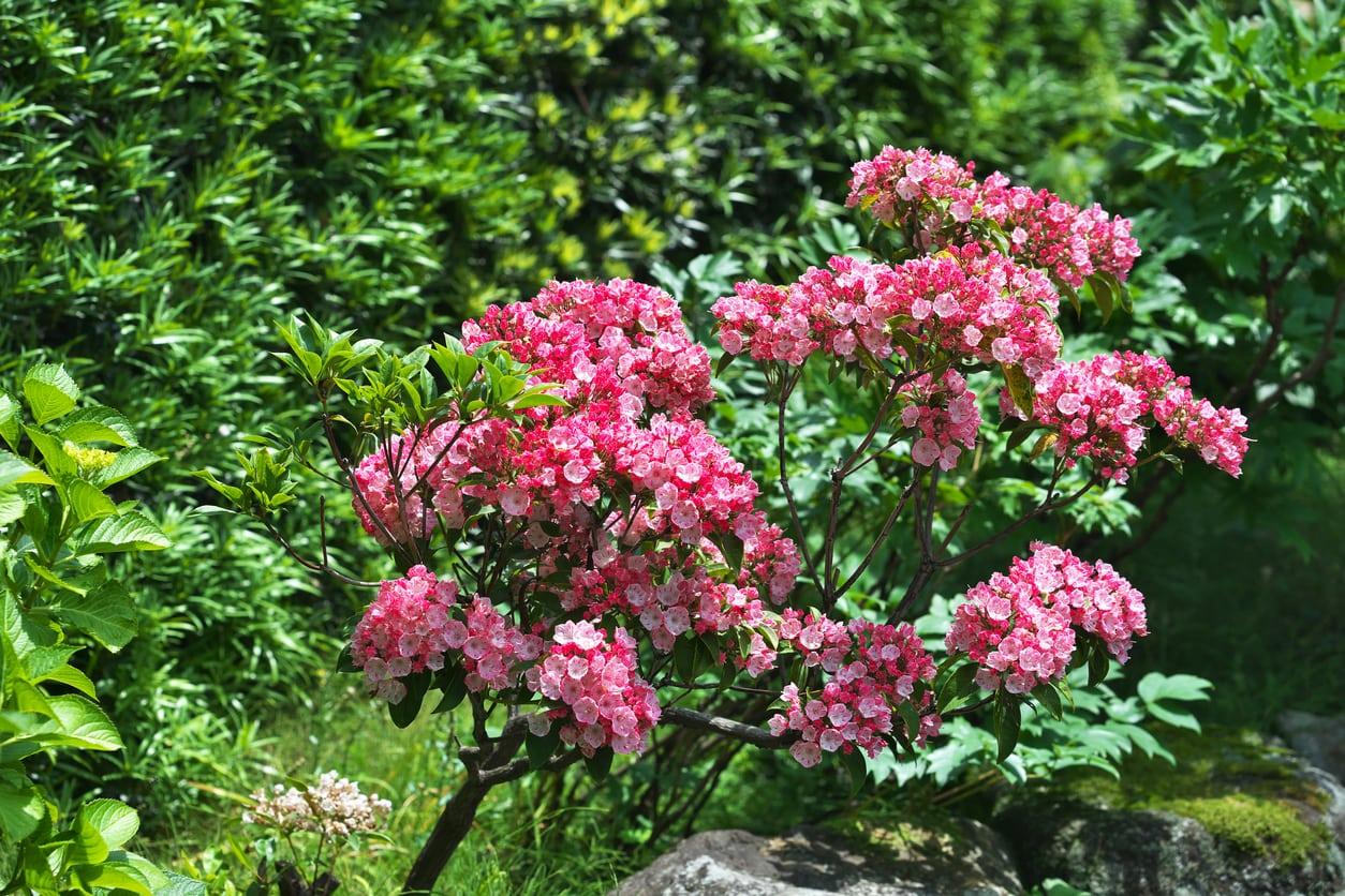 1541678336 tips for transplanting a mountain laurel shrub takeseeds com - Tips For Transplanting A Mountain Laurel Shrub