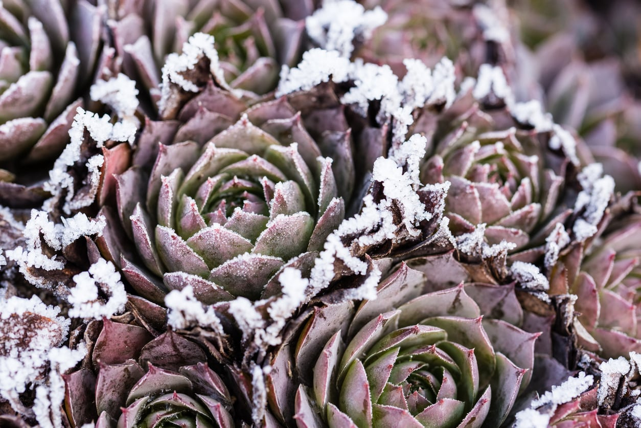 1542197542 when to plant succulents in cold climates takeseeds com - When To Plant Succulents In Cold Climates