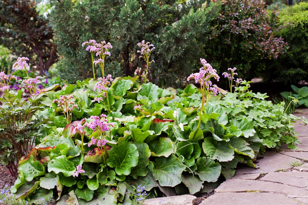 1542284189 transplanting bergenia how and when to divide bergenia plants takeseeds com - Transplanting Bergenia – How And When To Divide Bergenia Plants