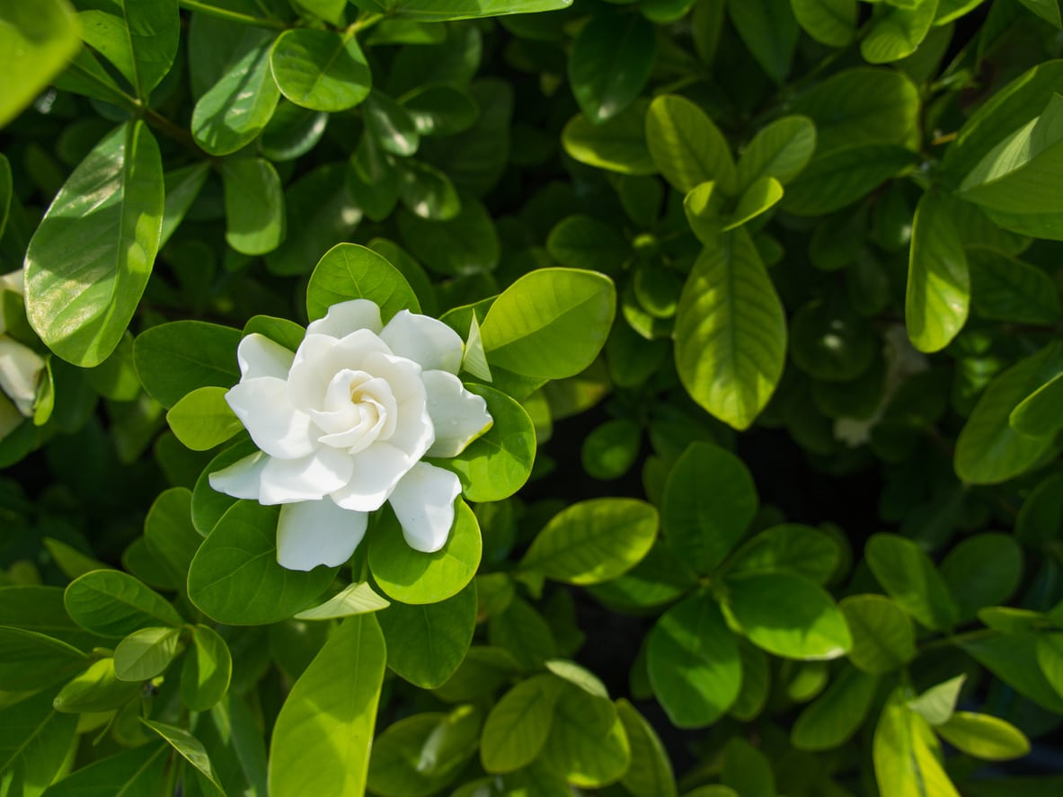 1542370701 what is an everblooming gardenia information about gardenia veitchii takeseeds com - What Is An Everblooming Gardenia – Information About Gardenia Veitchii