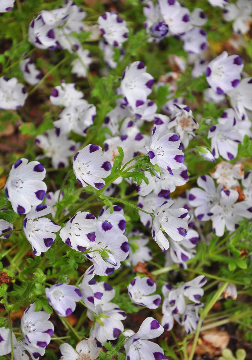 1542457284 can you grow five spot over winter takeseeds com - Can You Grow Five Spot Over Winter