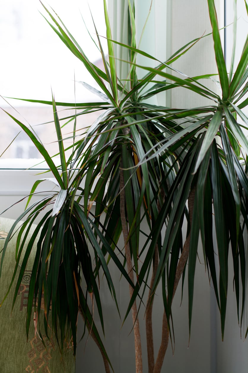 1542587208 learn about dracaena cold tolerance takeseeds com - Learn About Dracaena Cold Tolerance