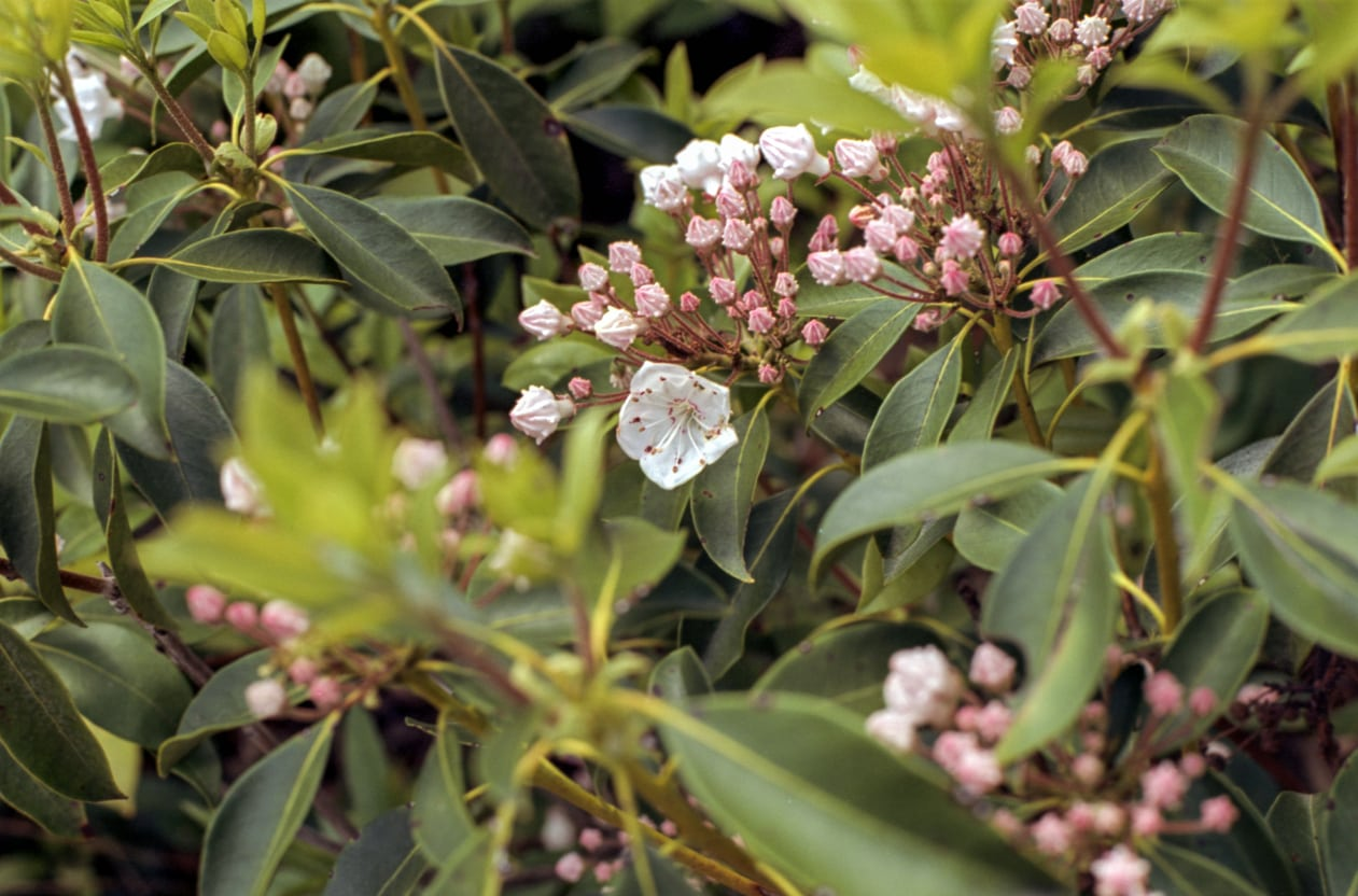 1542846921 mountain laurel winter care learn about winter protection for mountain laurels takeseeds com - Mountain Laurel Winter Care – Learn About Winter Protection For Mountain Laurels
