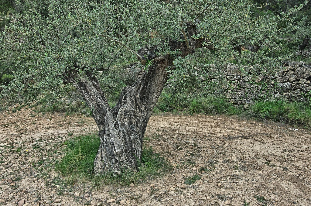 1542933462 xylella and olives what to do about an olive tree with xylella disease takeseeds com - Xylella And Olives - What To Do About An Olive Tree With Xylella Disease