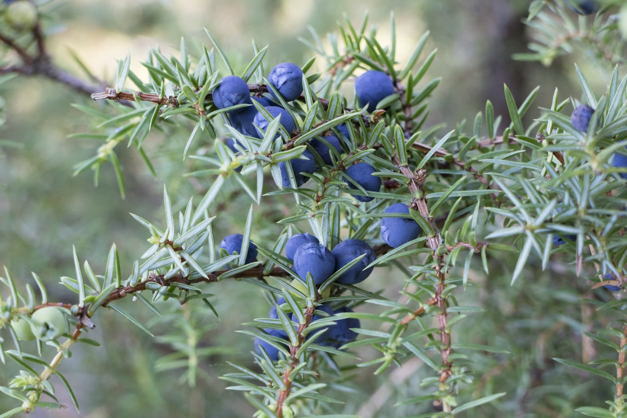 1542976711 learn how to use juniper berries takeseeds com - Learn How To Use Juniper Berries