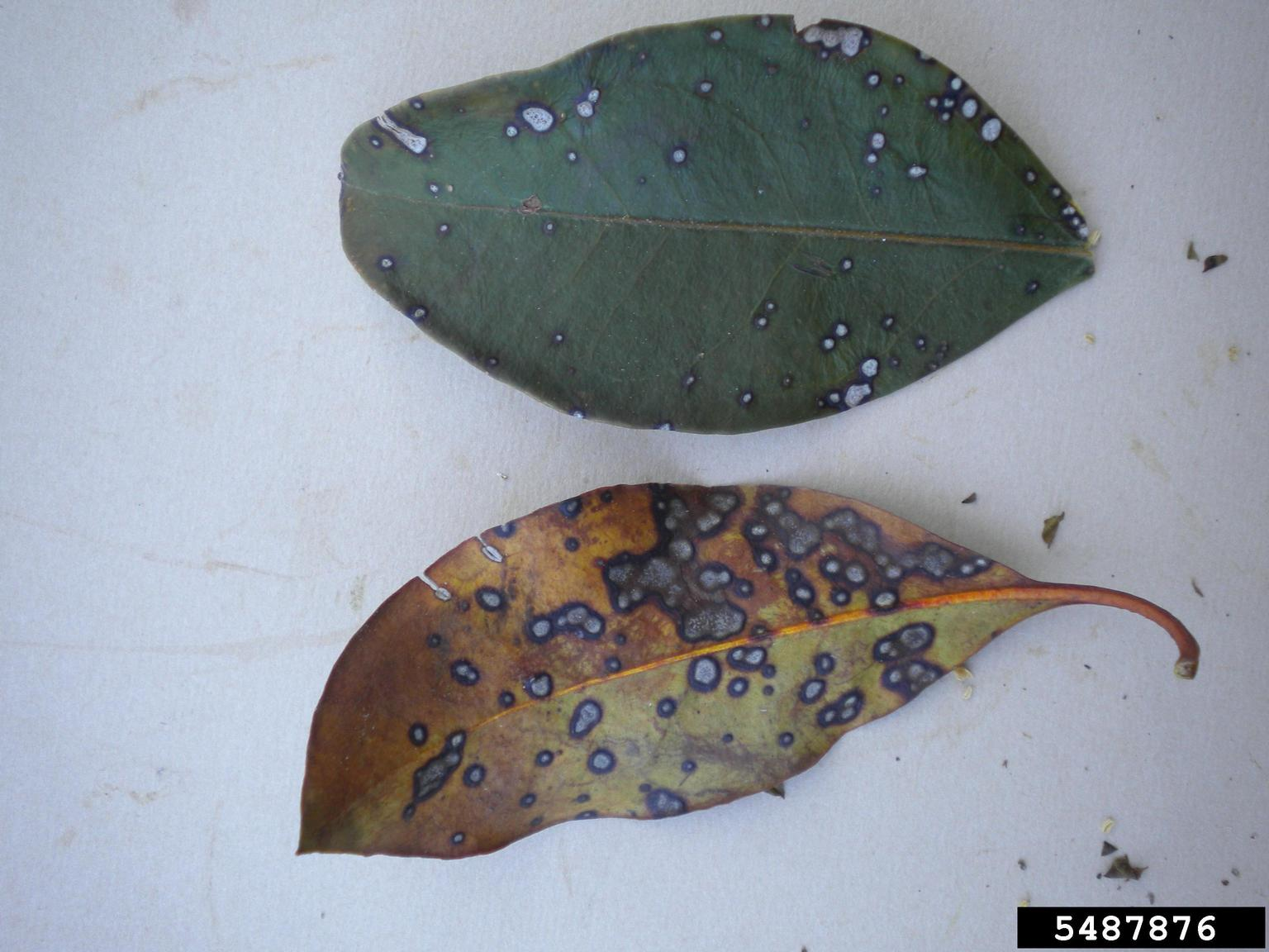 1543149736 treating sick mountain laurels learn about common mountain laurel diseases takeseeds com - Treating Sick Mountain Laurels – Learn About Common Mountain Laurel Diseases