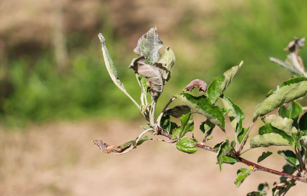 1543236255 how to treat apple trees with powdery mildew takeseeds com - How To Treat Apple Trees With Powdery Mildew