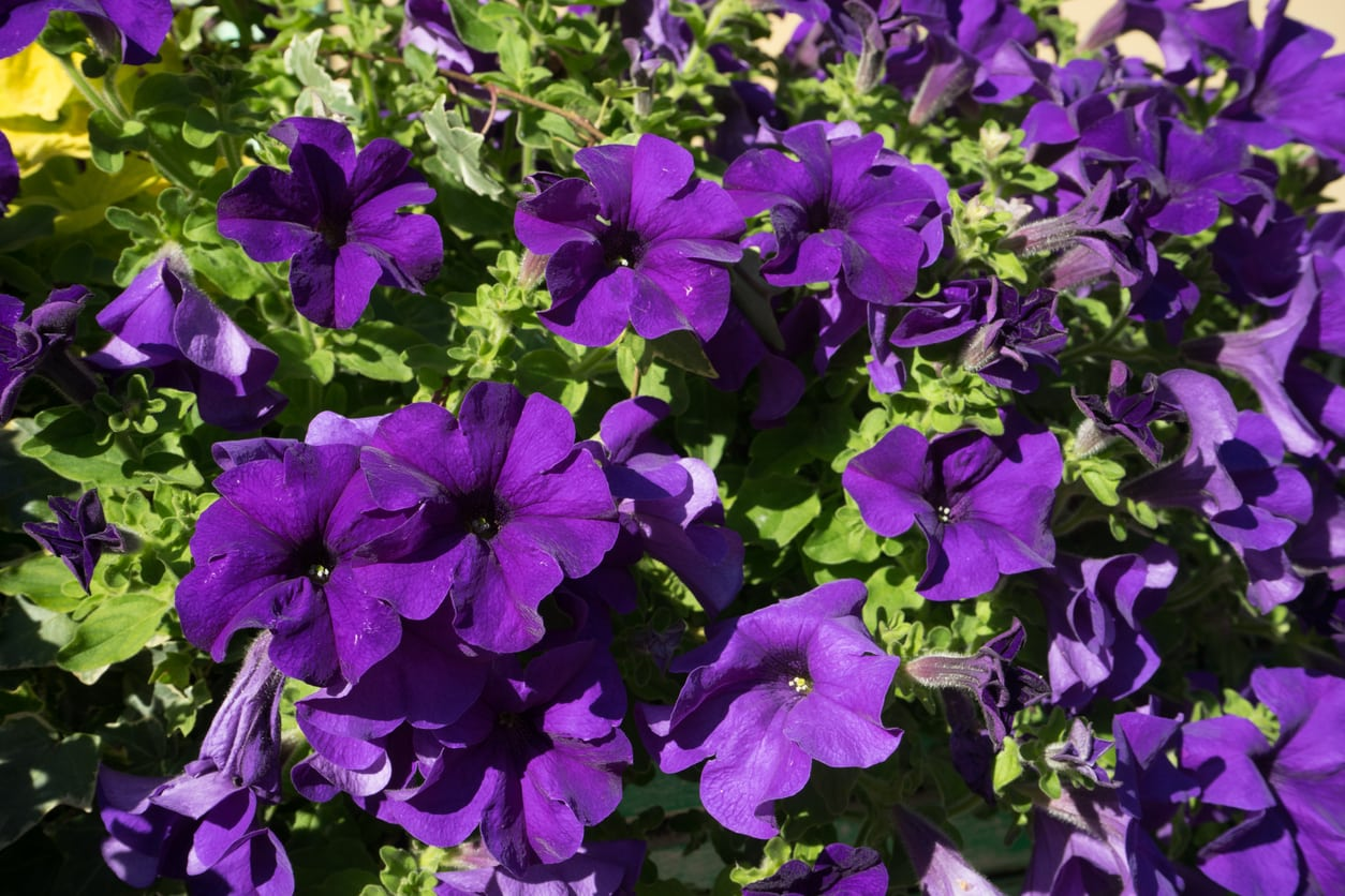 1543495824 popular purple petunia cultivars growing petunias that are purple takeseeds com - Popular Purple Petunia Cultivars – Growing Petunias That Are Purple