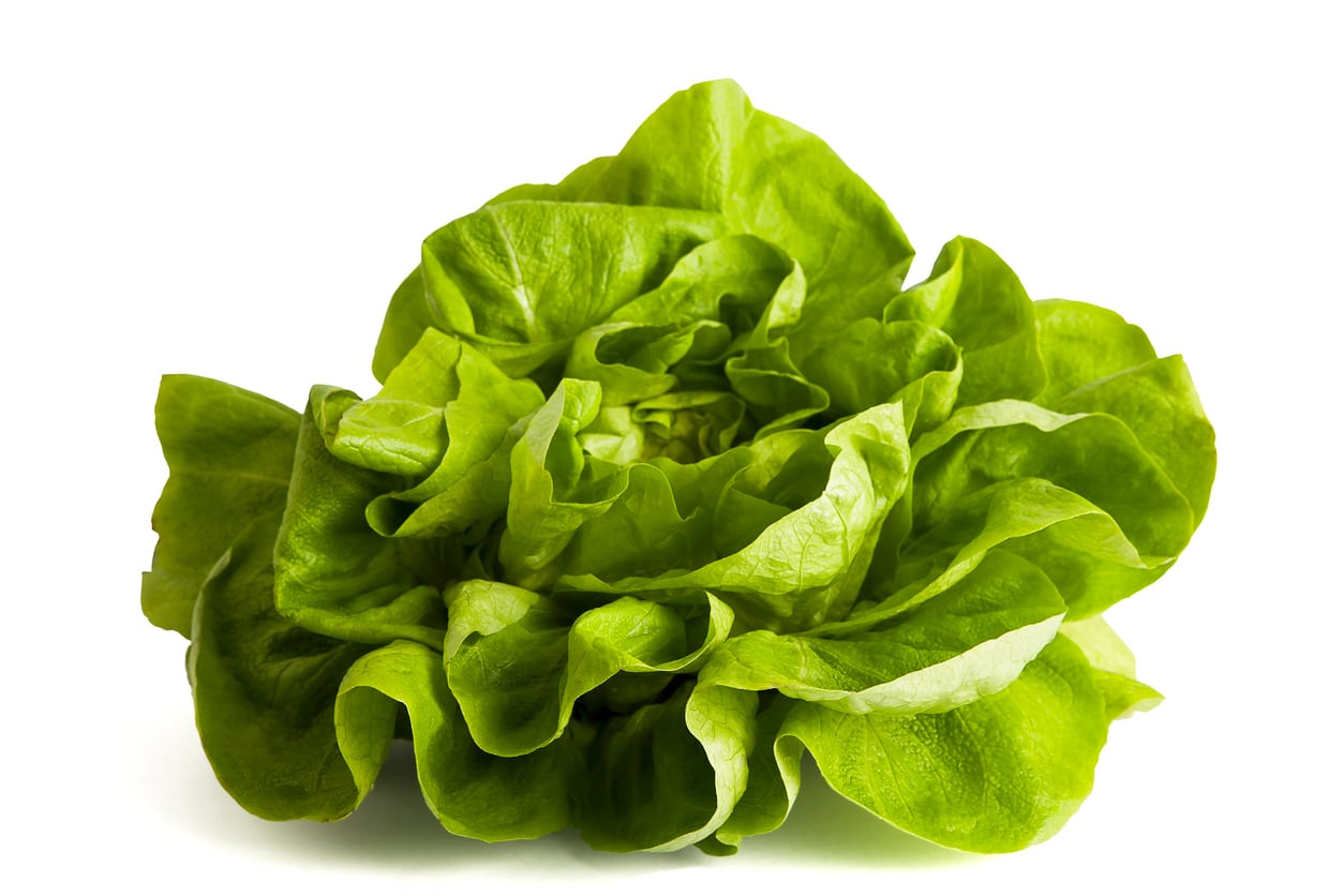 1543712117 learn about butter bibb lettuce care takeseeds com - Learn About Butter Bibb Lettuce Care