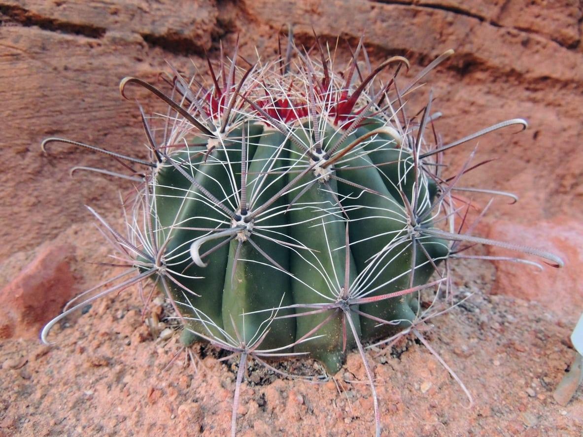 1543798670 carin for arizona barrel cacti in gardens takeseeds com - Carin For Arizona Barrel Cacti In Gardens