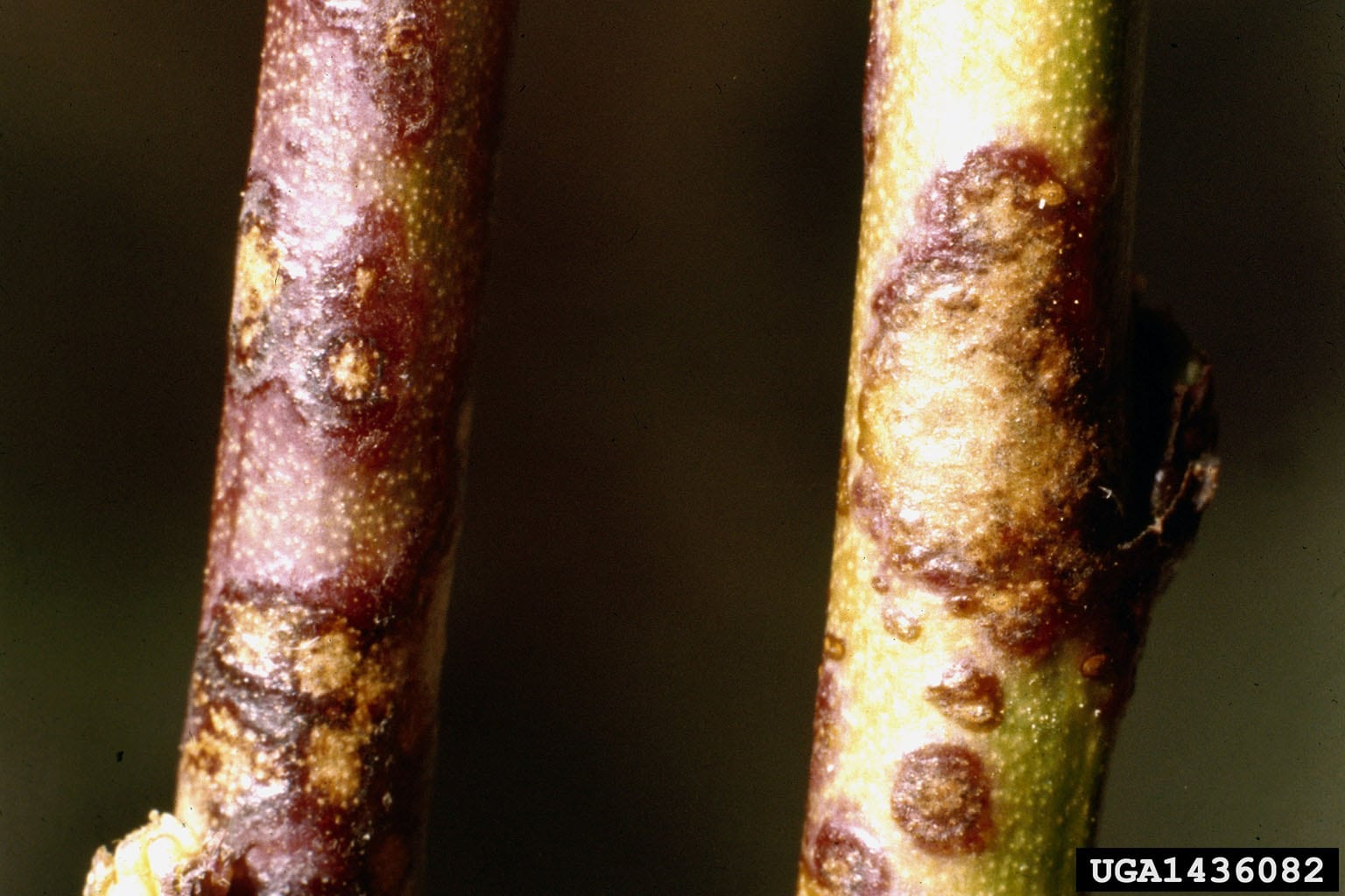 1544274626 learn about peach scab on apricots takeseeds com - Learn About Peach Scab On Apricots