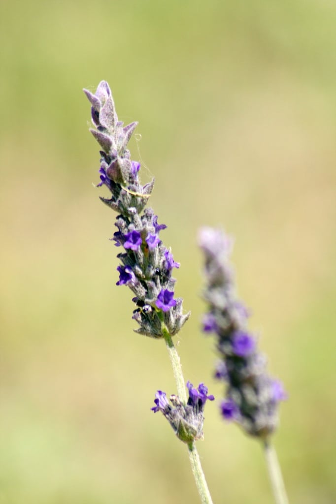 1544577680 tips for growing grosso lavender plants takeseeds com - Tips For Growing Grosso Lavender Plants