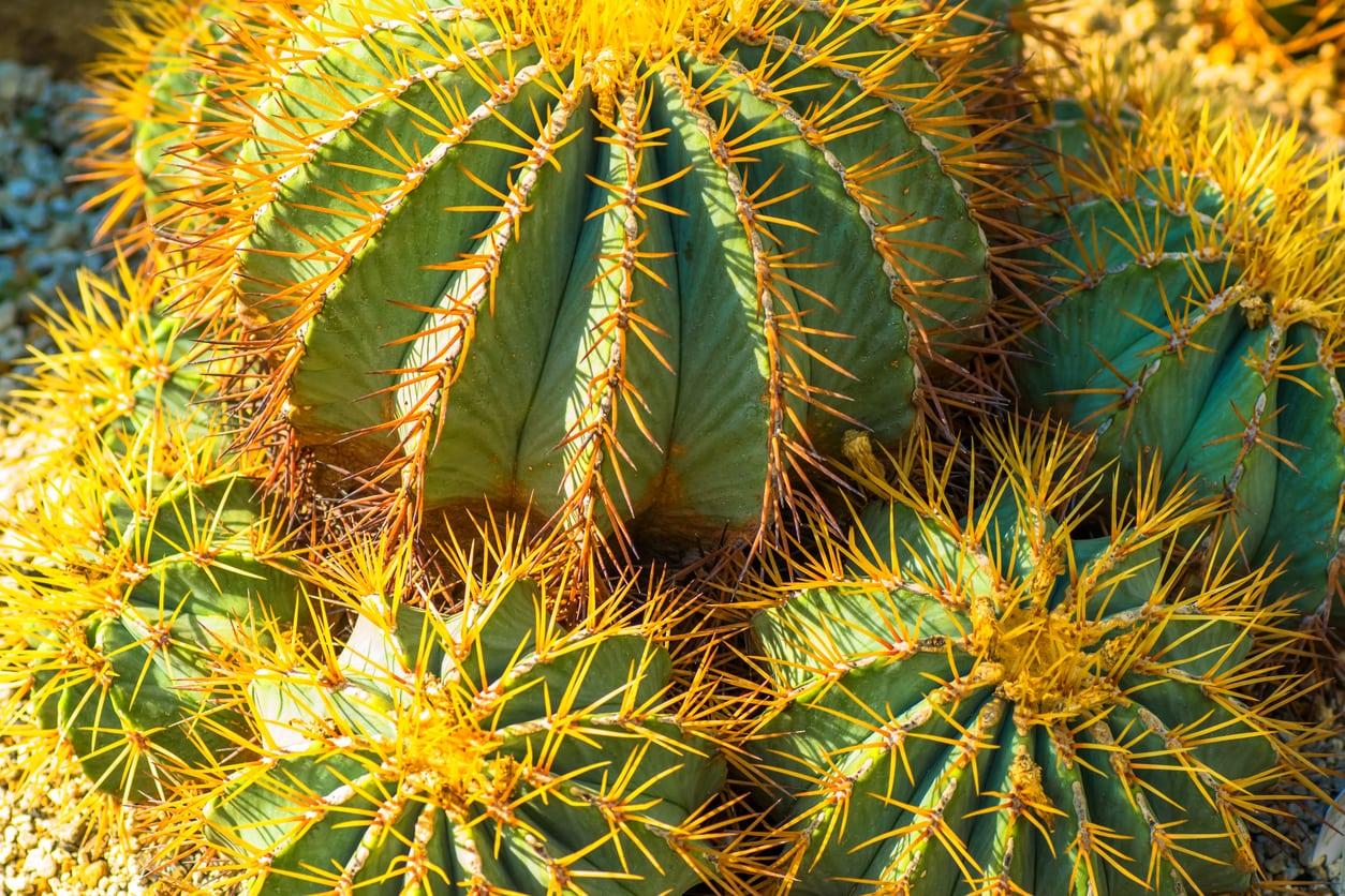 1544707456 learn how to grow a blue barrel cactus takeseeds com - Learn How To Grow A Blue Barrel Cactus