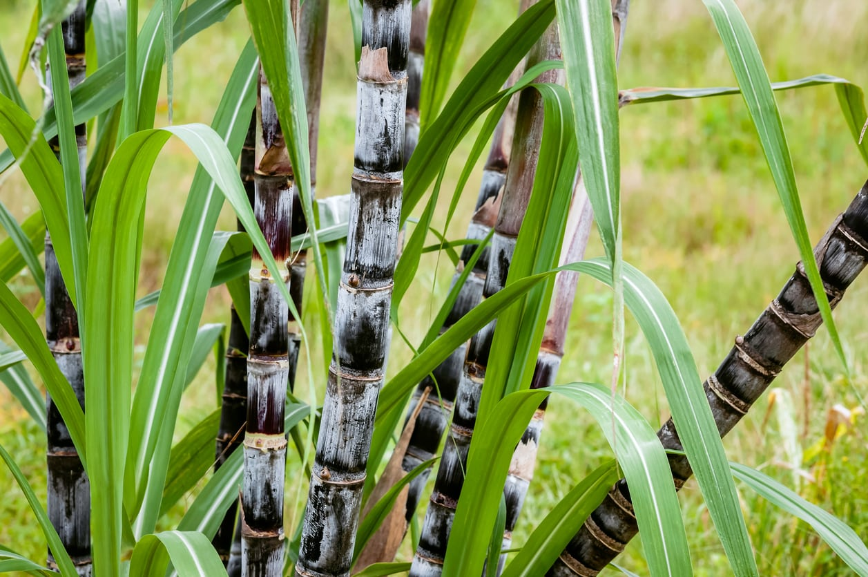 1544837284 sugarcane for cool climates learn about low temperature sugarcane varieties takeseeds com - Sugarcane For Cool Climates – Learn About Low Temperature Sugarcane Varieties