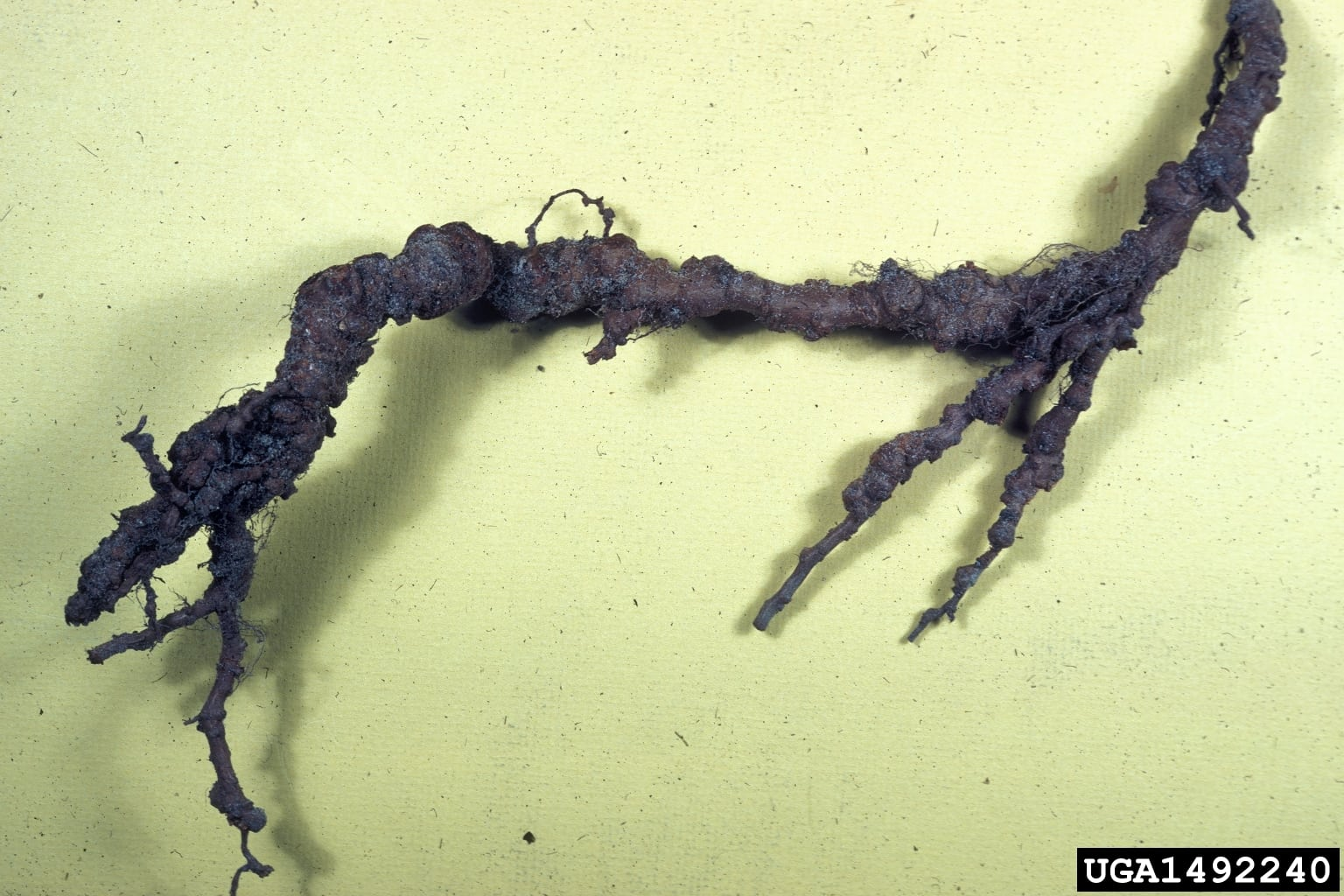 1544880520 how to treat root knot nematodes of peach trees takeseeds com - How To Treat Root Knot Nematodes Of Peach Trees