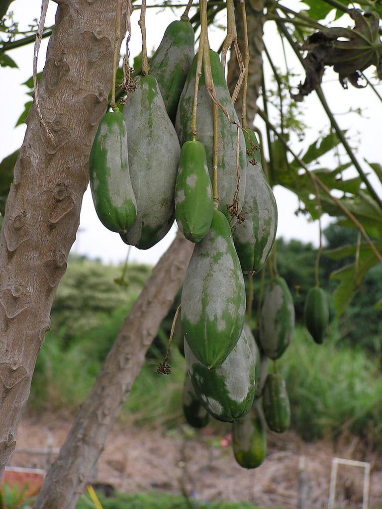 1545226656 how to treat powdery mildew on fruit trees takeseeds com - How To Treat Powdery Mildew On Fruit Trees