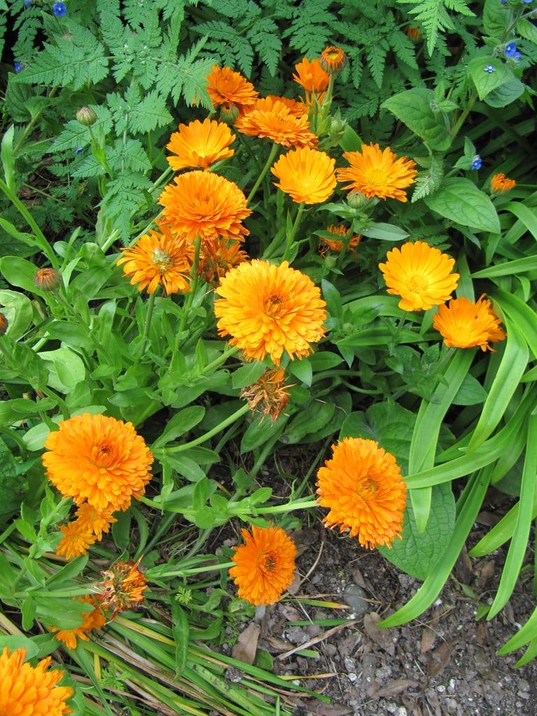 1546567802 calendula plant diseases and treatment takeseeds com - Calendula Plant Diseases And Treatment