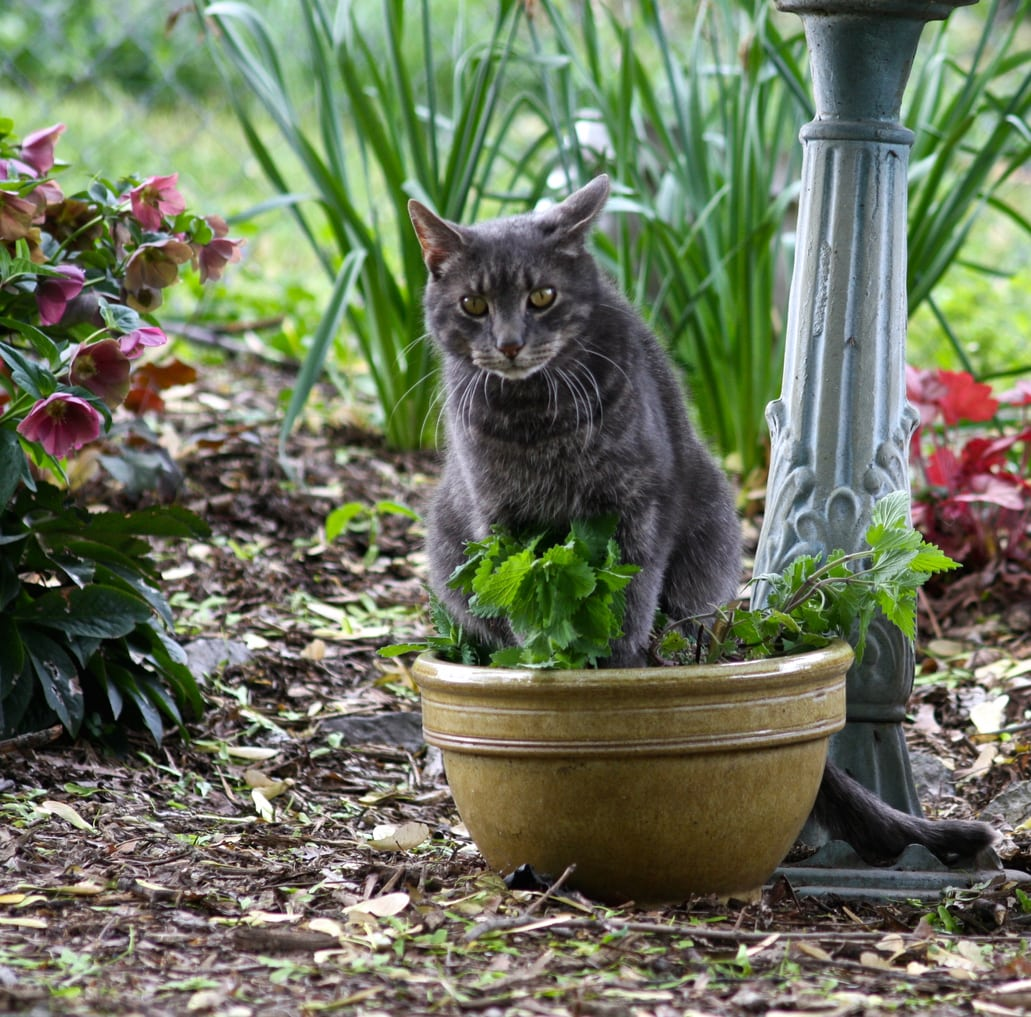 1547389752 does catnip attract cats to your garden takeseeds com - Does Catnip Attract Cats To Your Garden