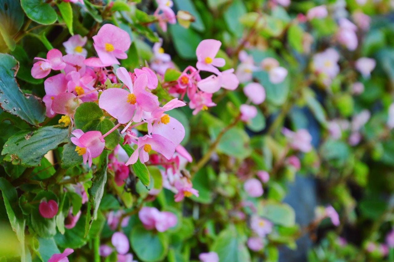 1547433014 learn about fertilizing tuberous begonia flowers takeseeds com - Learn About Fertilizing Tuberous Begonia Flowers