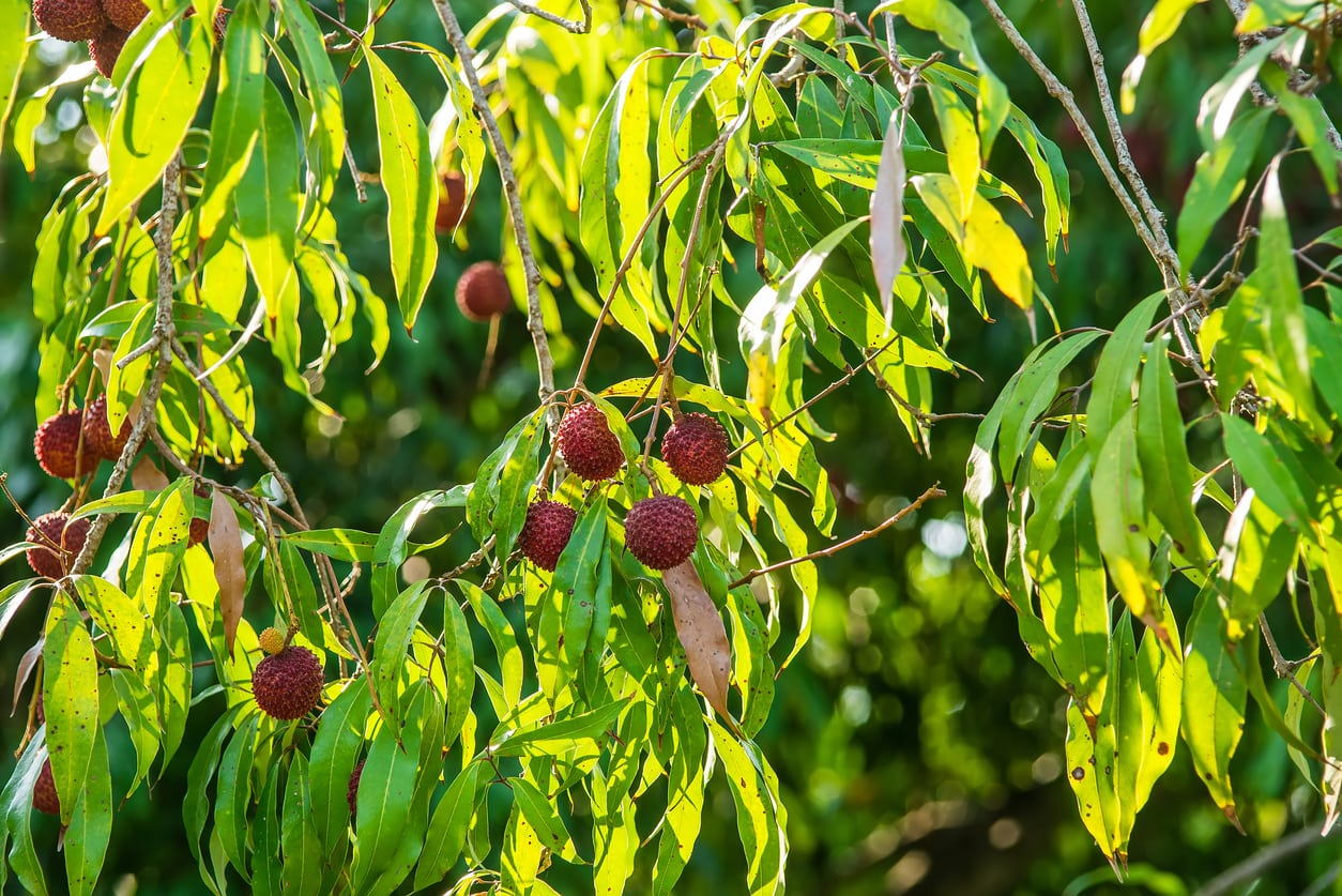 1548082033 my lychee wont produce fruit learn how to make a lychee tree fruit takeseeds com - My Lychee Won't Produce Fruit – Learn How To Make A Lychee Tree Fruit