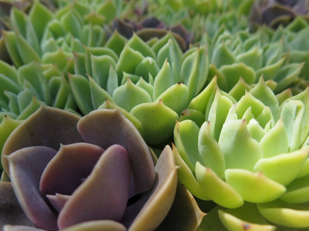 1548341652 learn about peacock echeveria succulent care takeseeds com - Learn About Peacock Echeveria Succulent Care
