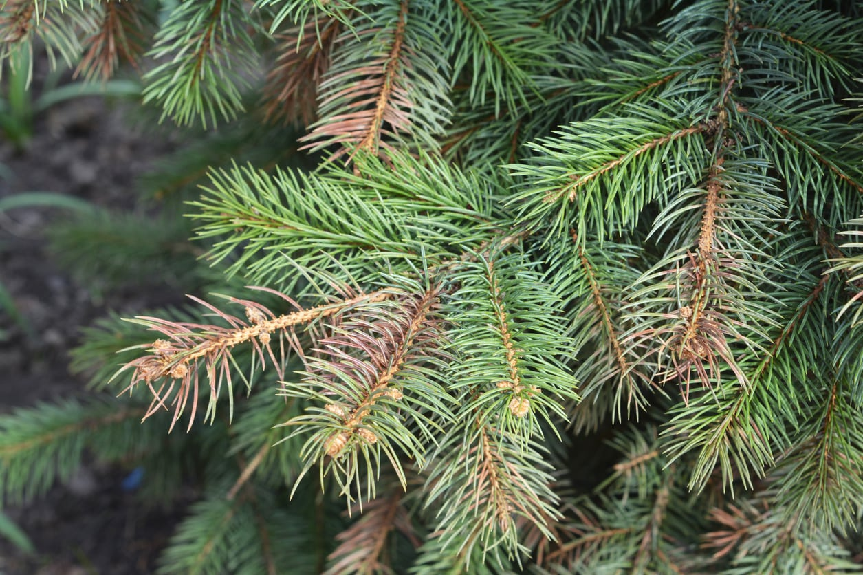 1548428175 my trees needles are changing color reasons for brown conifer needles takeseeds com - My Tree's Needles Are Changing Color – Reasons For Brown Conifer Needles