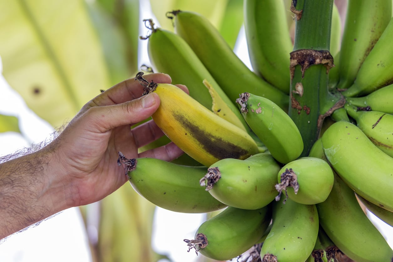 1548601274 banana tree dying after bearing fruit do banana trees die after harvest takeseeds com - Banana Tree Dying After Bearing Fruit – Do Banana Trees Die After Harvest