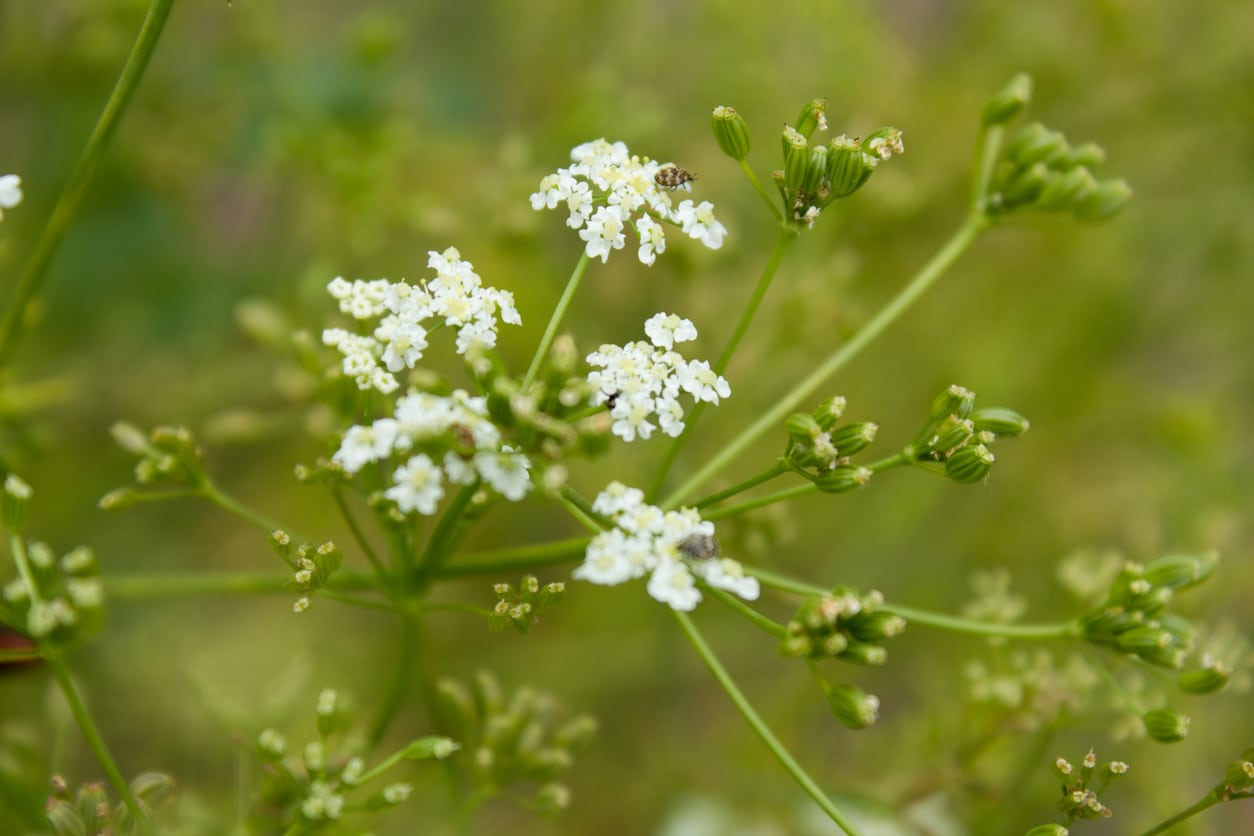 1548644508 learn about common caraway diseases and pests takeseeds com - Learn About Common Caraway Diseases And Pests