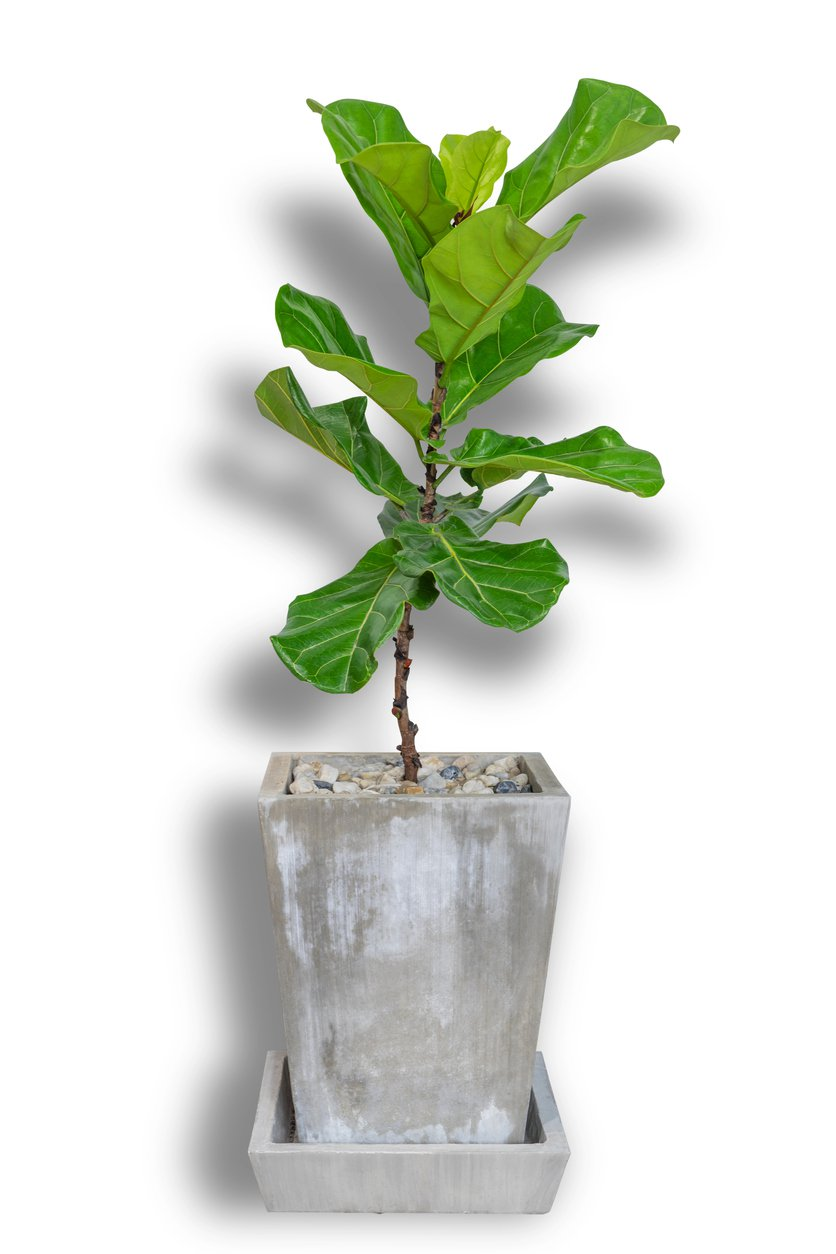 1548774337 cutting back fiddle leaf figs how to prune fiddle leaf fig trees takeseeds com - Cutting Back Fiddle Leaf Figs – How To Prune Fiddle Leaf Fig Trees